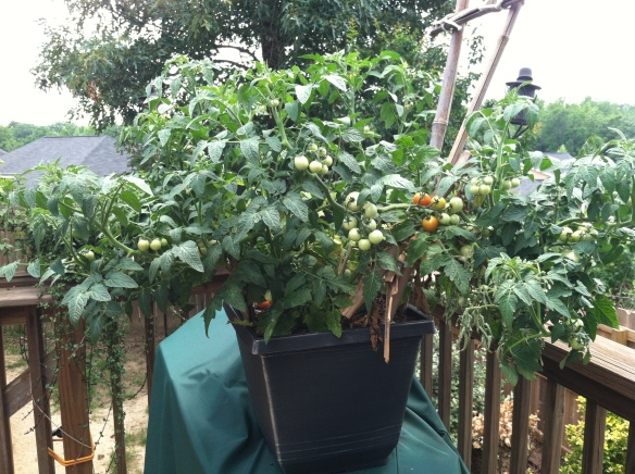I didn't realize how big my cherry tomato plant was going to grow...